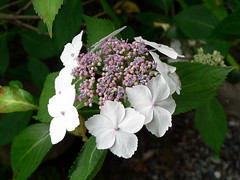 blossom(0.0), annual plant(1.0), shrub(1.0), flower(1.0), leaf(1.0), hydrangea serrata(1.0), plant(1.0), lilac(1.0), flora(1.0), petal(1.0),