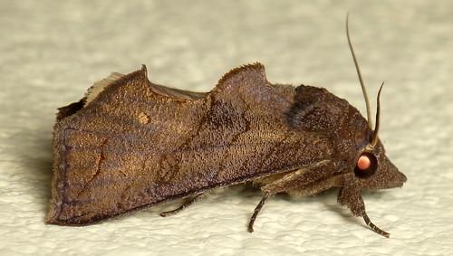 Moth, Oraesia sp.? Noctuidae, Catocalinae