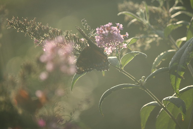 misty light butterfly