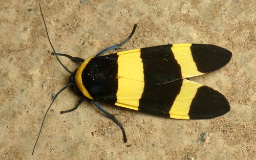 Tiger moth, Viviennea moma or momyra? Arctiinae