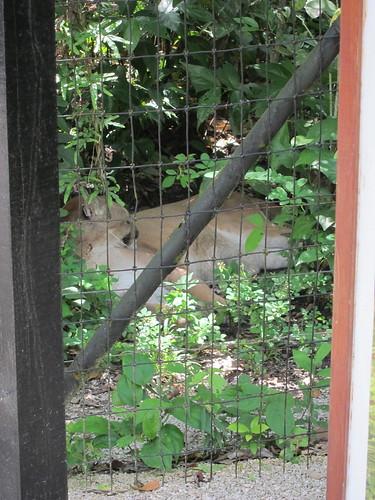 Puma lounging