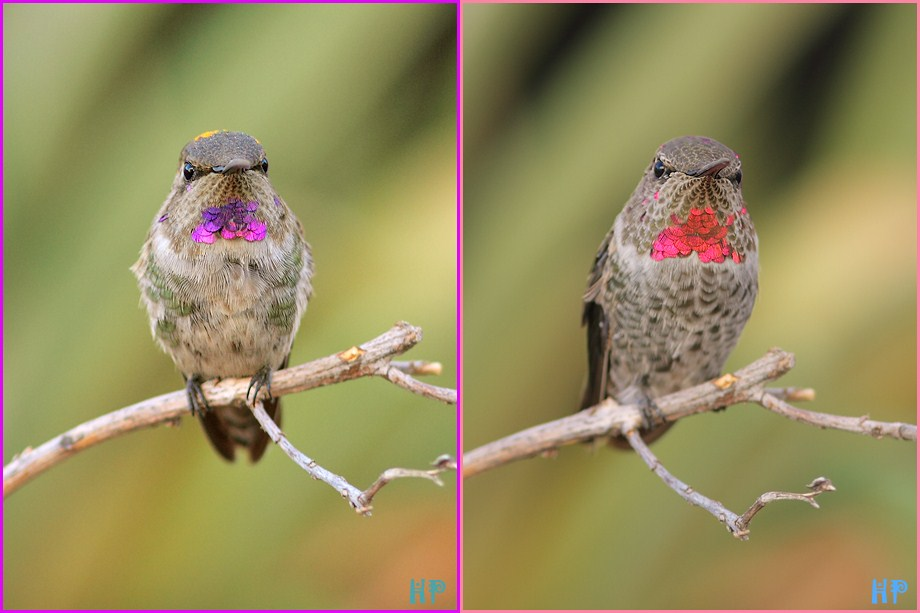 Costa's X Anna's and Anna's Hummingbird 082812
