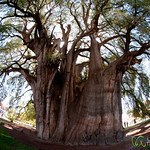 Fisheye View of Cypress Tree - Santa Maria del Tule, Mexico
