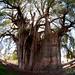 Fisheye View of Cypress Tree - Santa Maria del Tule, Mexico