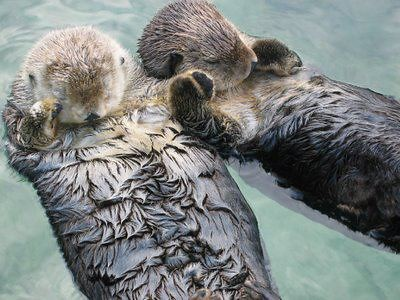 two adorable sea otters floating on their backs, holding hands.