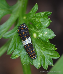 Early Instar Caterpillar, Papilio polyxenes, Eastern Black Swallowtail