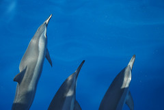 short-beaked common dolphin(0.0), striped dolphin(0.0), animal(1.0), marine mammal(1.0), common bottlenose dolphin(1.0), marine biology(1.0), azure(1.0), dolphin(1.0), spinner dolphin(1.0), stenella(1.0), rough-toothed dolphin(1.0), tucuxi(1.0),