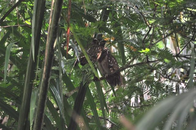 Búhos, observándolo todo de lo alto de los árboles, a mí personalmente, sus ojos y su expresión me dan miedo Tortuguero - 7950178438 f04732d732 z - Tortuguero, entre la tranquilidad y la vida salvaje