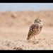 Burrowing Owl by Muzzlehatch