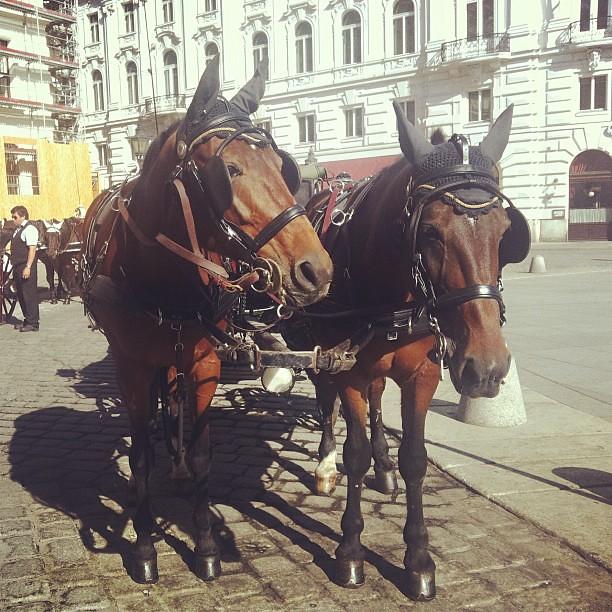 #horses #fiaker