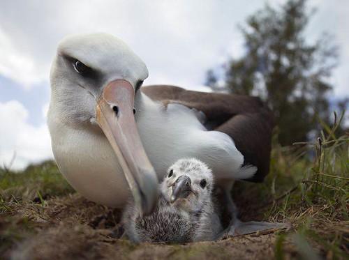 中途島上信天翁和他的小孩。(攝影:Chris Jordan)