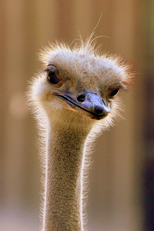 Birmingham Zoo Ostrich