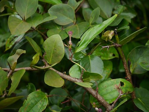 climber apocynaceae endemic herb perennial asclepiadaceae ceropegia milkweedfamily dogbanefamily oleanderfamily asclepiadoideae ceropegiamedia ceropegiaevansiivarmedia mediumceropegia medikharchudi