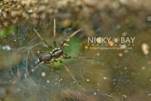 Wolf Spider (Lycosidae) - DSC_5096