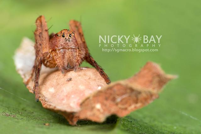 Lynx Spider (Oxyopidae) - DSC_3720