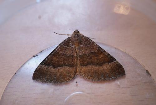 Mallow (Larentia clavaria)
