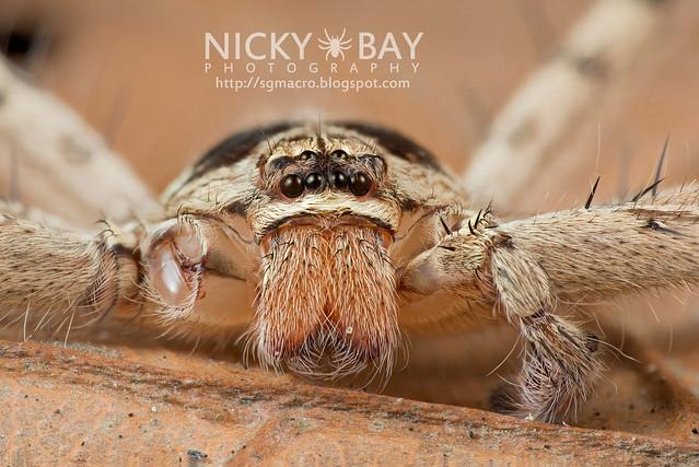 Huntsman Spider (Sparassidae) - DSC_0748