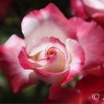 Flower-20