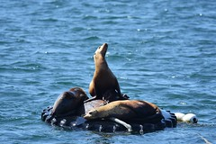 Catching some rays...sea lions at Monterey Bay
