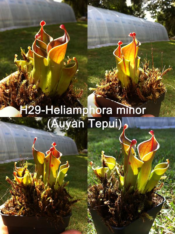 Vente :H29-Heliamphora minor (Auyan Tepui) 7894654336_cdb92cbcc5_c