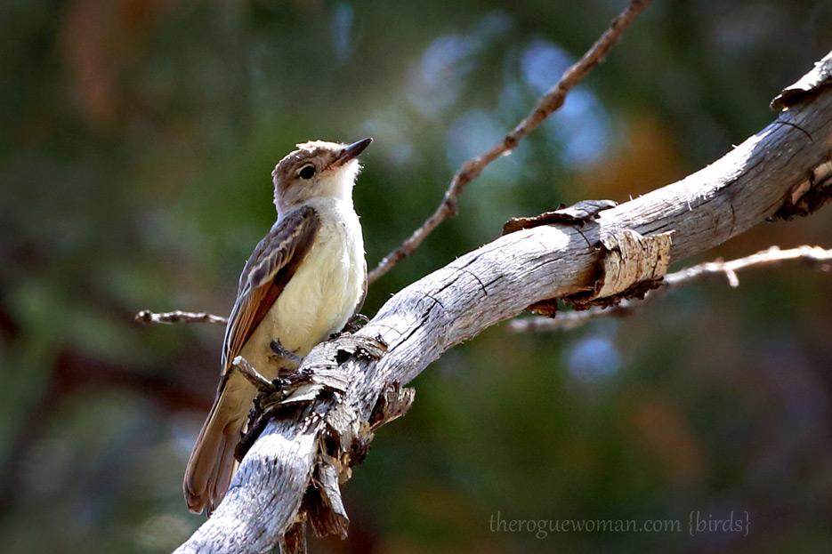 081412_03_bird_flycatcher01