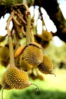 Baby Durian