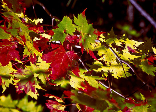 Maple leaves of many colors offer an unending palette of color in the United States Department of Agriculture, U. S. Forest Service, Hiawatha National Forest on the Upper Peninsula of Michigan.