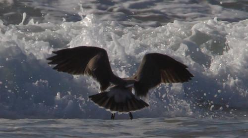 california birds flying unitedstates morrobay locations morrostrand shorebird heermannsgull larusheermanni identifiers