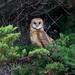 Barn Owl by Steve Zamek