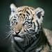 Tiger Cub 002 by Brookshaw Photography