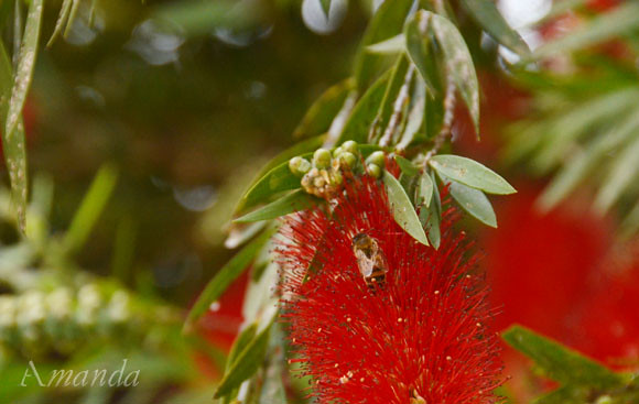 bottlebrush_1525 e