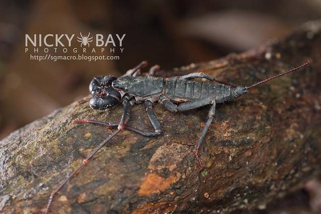 Whip Scorpion (Thelyphonida) - DSC_4164