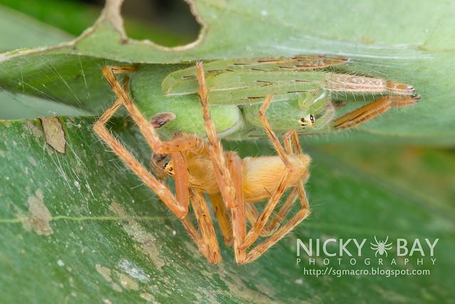 Huntsman Spiders (Sparassidae) - DSC_3632
