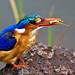 Malchite Kingfisher (Dani Free)