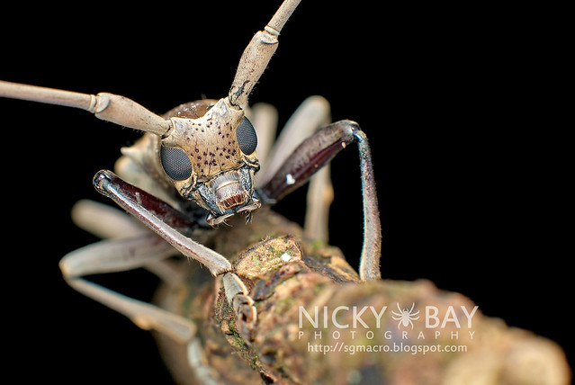 Mangrove Longhorn Beetle (Aeolesthes holosericeus) - DSC_7103