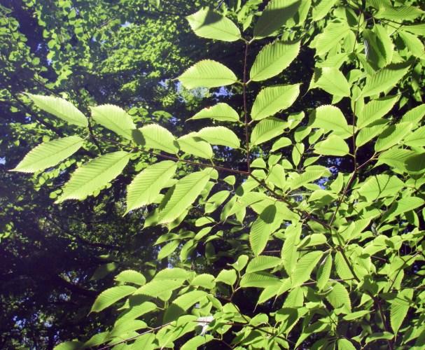 Acer carpinifolium 8005136041_bf3d0d6897_o