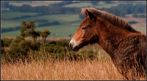 Exmoor Pony by fidji164