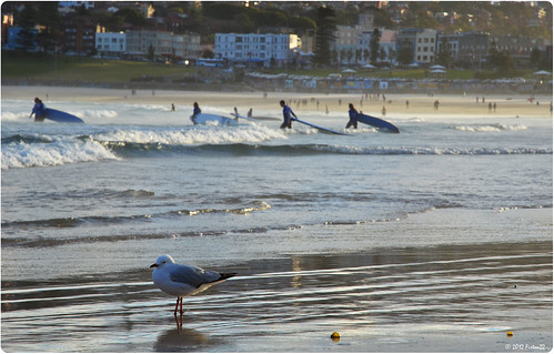 Seagull on Bondi Beach