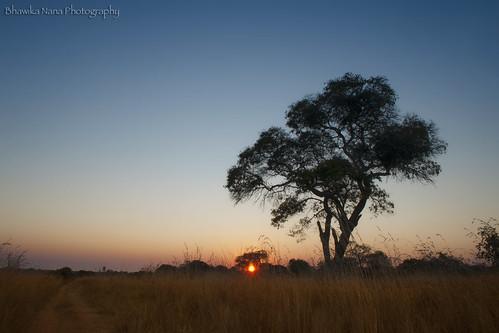 sunset tree grass silhouette path framing bushes zambia choma