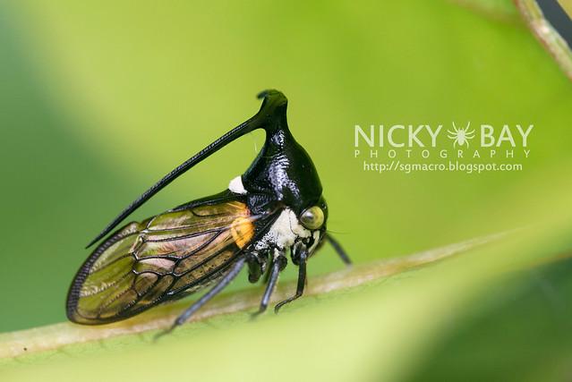 Treehopper (Membracidae) - DSC_6310