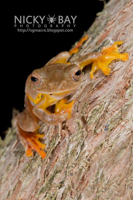 Twin-spotted Flying Frog (Rhacophorus bipunctatus) - DSC_5377
