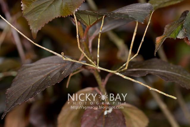Stick Insect (Phasmatodea) - DSC_5298