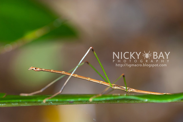 Stick Insect (Phasmatodea) - DSC_3948