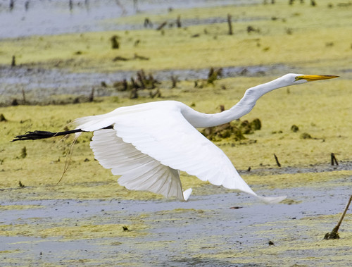 Great Egret Flyin' Over Horicon Marsh by Ricky L. Jones Photography