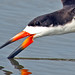 Black Skimmer Close-up