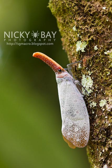 Lantern Bug (Pyrops sultana) - DSC_9240