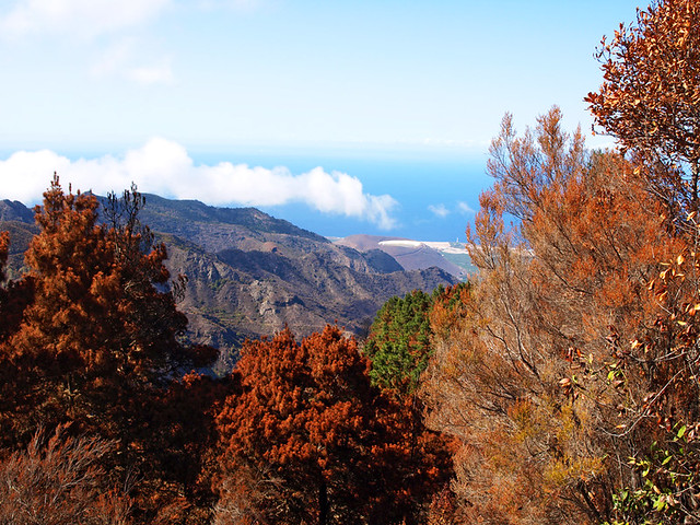 Scorched trees look autumnal on Tenerife