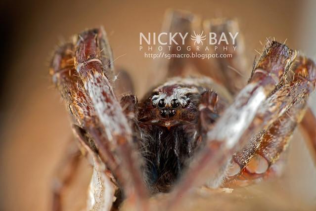 Wandering Spider (Ctenidae) - DSC_8571