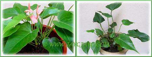 Propagating our Pink Anthurium (a dwarf variety) by division - Step 2