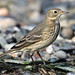 Anthus rubescens (American Pipit) by Nick Dean1